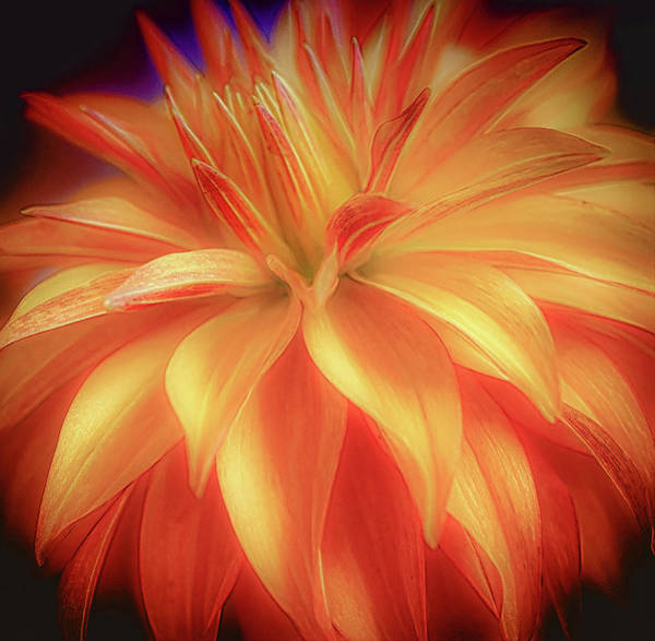 Photograph - Yellow And Red Dahlia by Julie Palencia