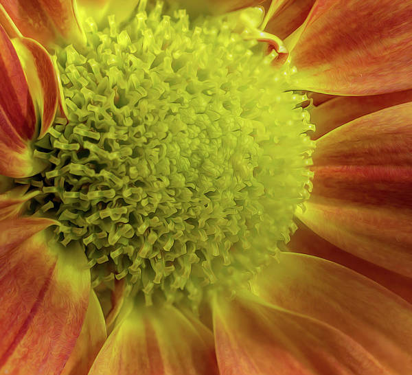Photograph - Yellow And Red Macro Mum by Keith Smith