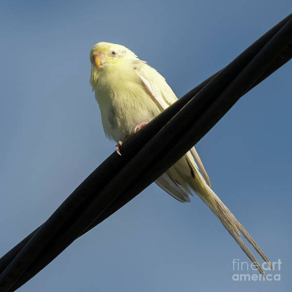 Photograph - Yellow And White Budgerigar Perched by Pablo Avanzini