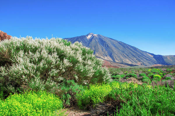 Photograph - Yellow And White Flowering Shrubs In Front Of Mount Teide by Sun Travels