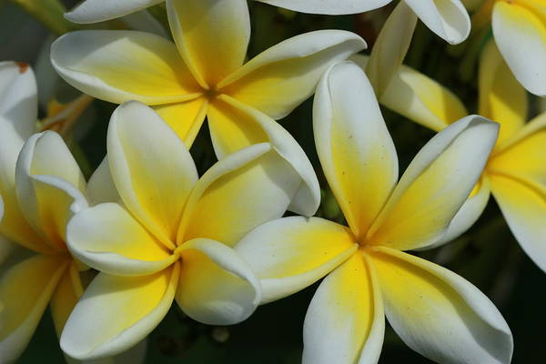 Barbados Photograph - Yellow And White Plumeria On Barbados by Adwalsh