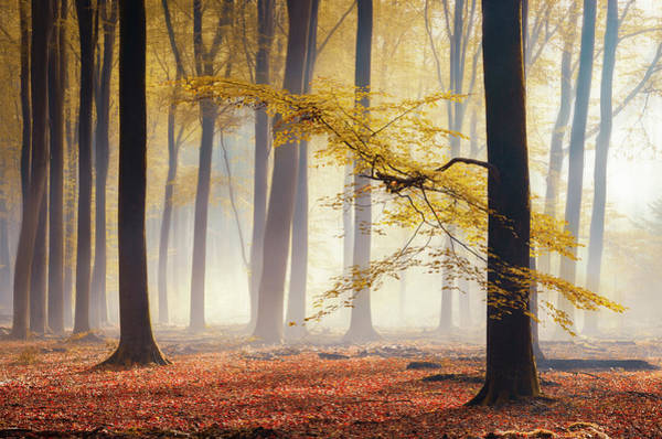 Photograph - Yellow Autumn Leaves In Foggy Forest by Rob Visser