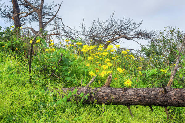 Wall Art - Photograph - Yellow Beauties Above The Pine Log by Joseph S Giacalone