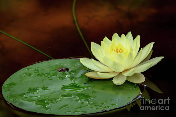 Photograph - Yellow Beauty Upon A Lily Pad by Sabrina L Ryan