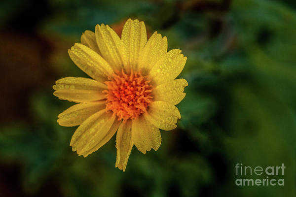 Juxtaposition Photograph - Yellow  Beauty With Raindrops by Robert Bales