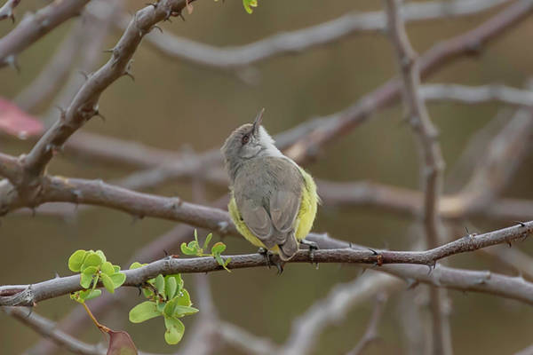 Photograph - Yellow-bellied Eremomela by Thomas Kallmeyer