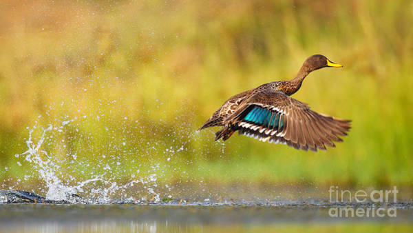 Wall Art - Photograph - Yellow-billed Duck Taking Off From by Jmx Images