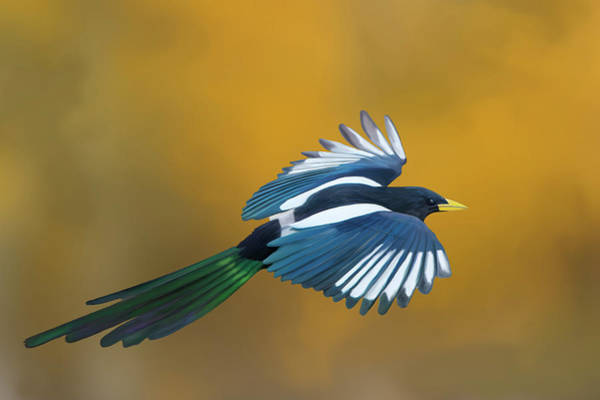Photograph - Yellow-billed Magpie In Autumn by Mark Miller