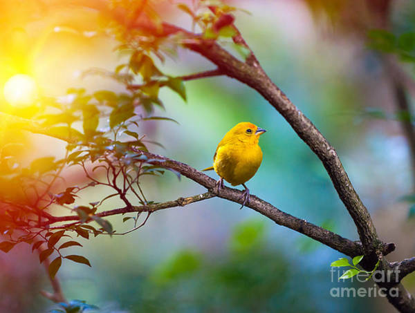 Wall Art - Photograph - Yellow Bird Sitting On A Branch by Seqoya