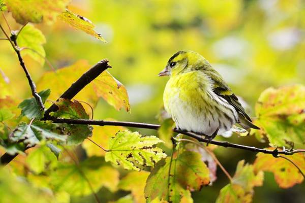 Photograph - Yellow Bird by Top Wallpapers