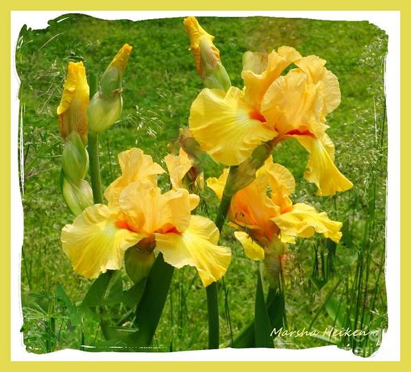 Wall Art - Photograph - Yellow Bundle Of Irises by Marsha Heiken