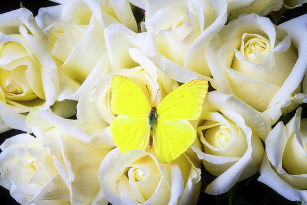 Photograph - Yellow Butterfly Among White Roses by Garry Gay