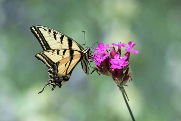 Wall Art - Photograph - Yellow Butterfly by Catherine Lau