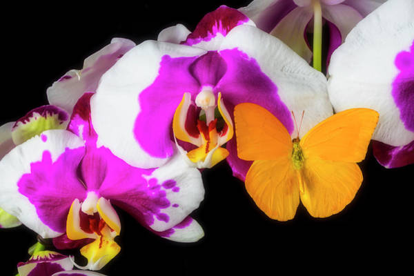 Photograph - Yellow Butterfly On Orchid by Garry Gay