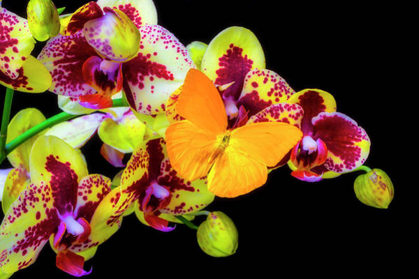Photograph - Yellow Butterfly On Yellow Orchids by Garry Gay