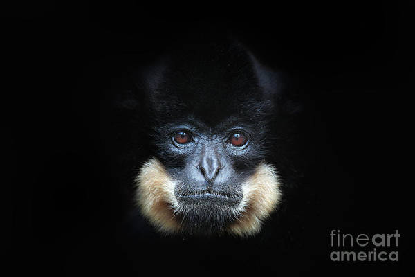 Wall Art - Photograph - Yellow-cheeked Gibbon, Nomascus by Ondrej Prosicky