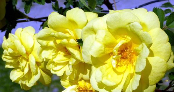 Photograph - Yellow Climbing Roses by Will Borden