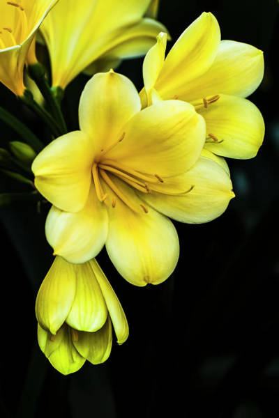 Clivia Wall Art - Photograph - Yellow Clivia by Ginger Stein
