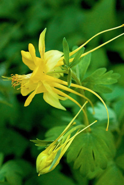 Wall Art - Photograph - Yellow Columbine Flower And Bud by Rebecca E Marvil