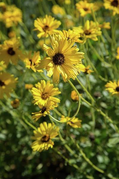 Photograph - Yellow Coreopsis by Lynn Bauer