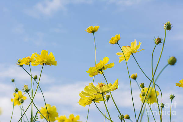 Tropical Plants Photograph - Yellow Cosmos Flowers With Light Blue by Thatreec