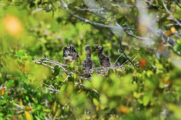 Photograph - Yellow-crowned Night Heron Babies I by Michiale Schneider