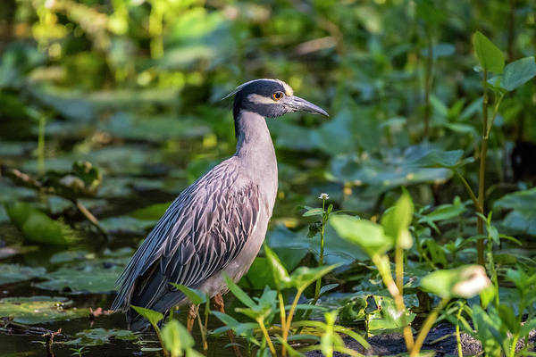 Photograph - Yellow Crowned Night Heron by David Morefield