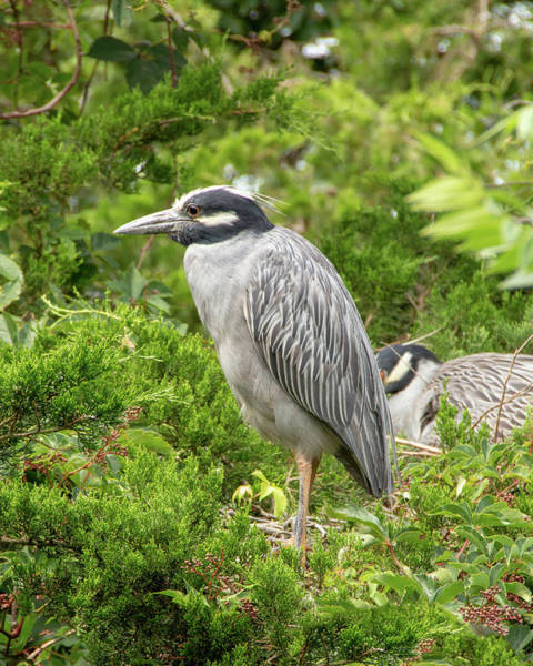 Photograph - Yellow-crowned Night Heron by Kristia Adams