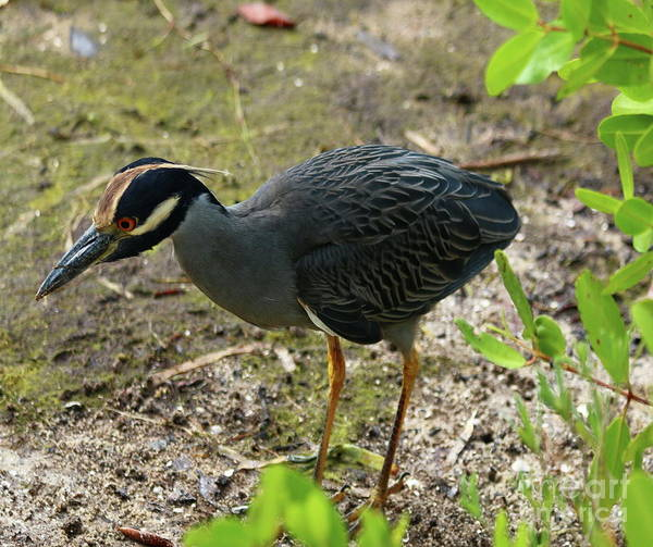 Photograph - Yellow Crowned Night Heron On Sanibel by Christiane Schulze Art And Photography