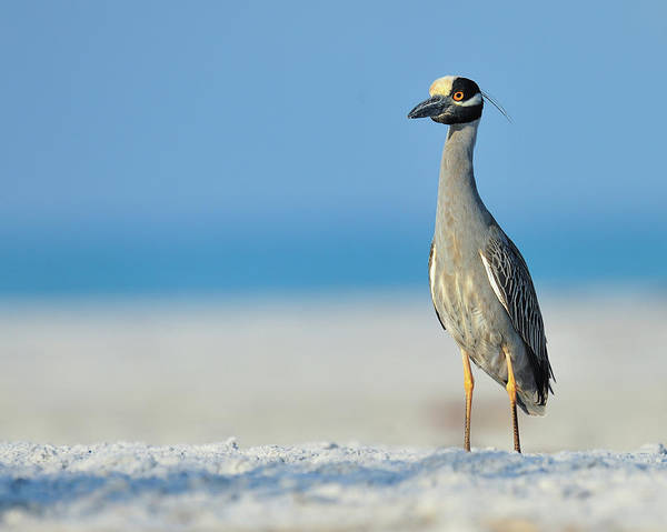 Night-heron Photograph - Yellow Crowned Night Heron by Photo By Dennis Hayes Derby Jr.