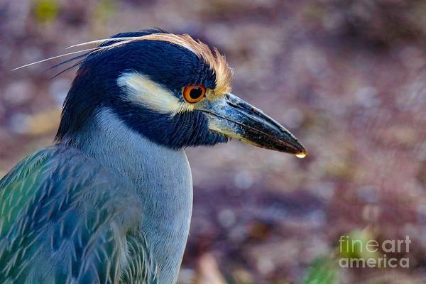Photograph - Yellow-crowned Night Heron by Susan Rydberg