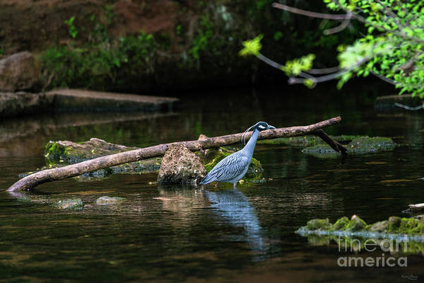 Wall Art - Photograph - Yellow Crowned On The Hunt by Jennifer White