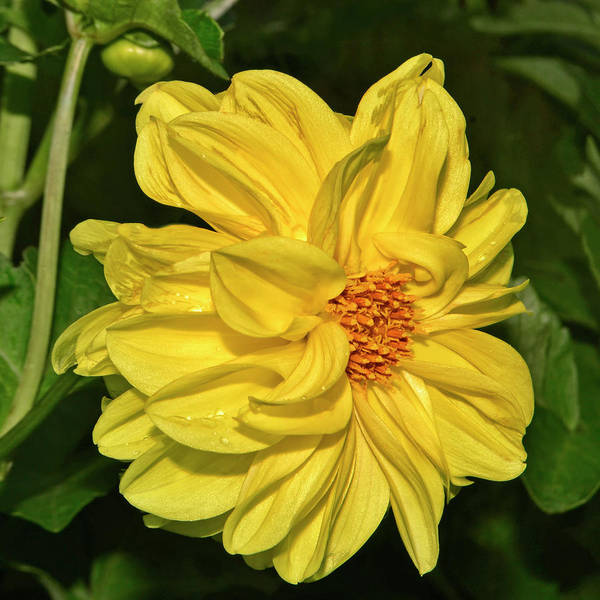 Wall Art - Photograph - Yellow Dahlia 024 by George Bostian