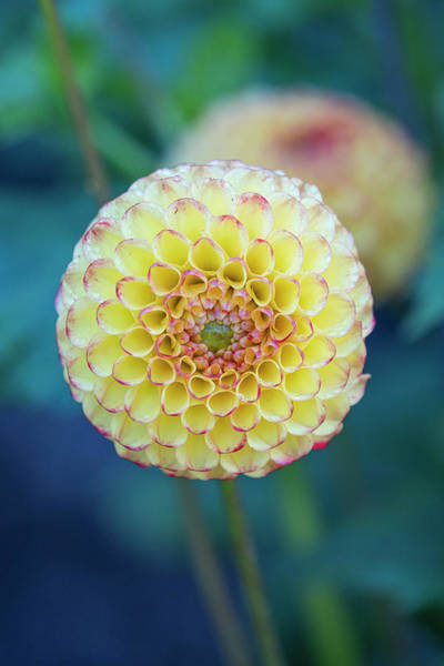 Photograph - Yellow Dahlia by Jonathan Hansen