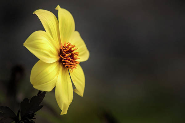 Photograph - Yellow Dahlia Profile by Don Johnson