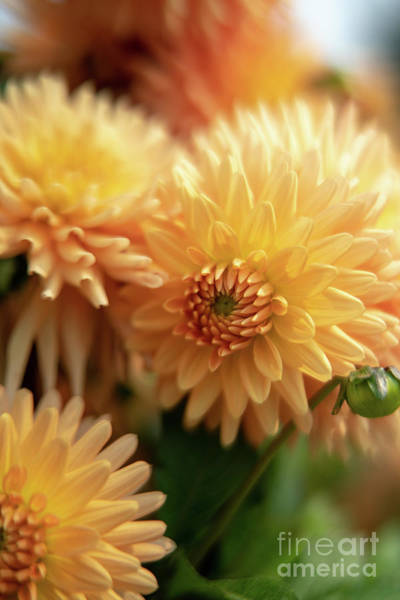 Wall Art - Photograph - Yellow Dahlias Cluster Soft Light by Mike Reid