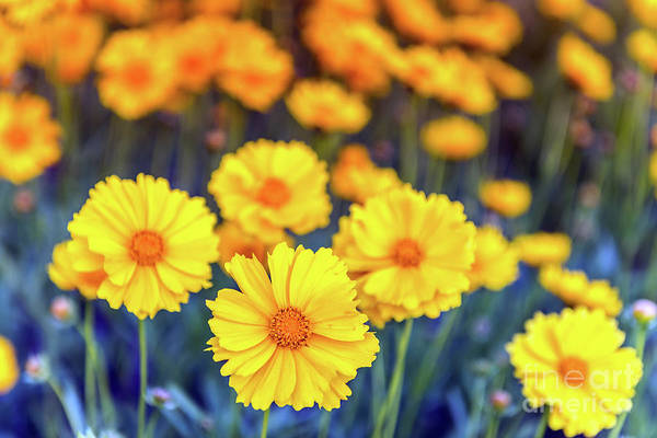 Photograph - Yellow Daisy Flowers Bloominng  In A Field Of Blue During Spring by Patrick Wolf