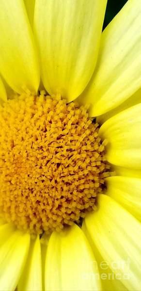 Photograph - Yellow Daisy by Michael Graham