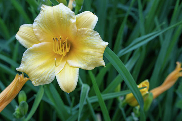 Photograph - Yellow Day Lily by Jason Fink