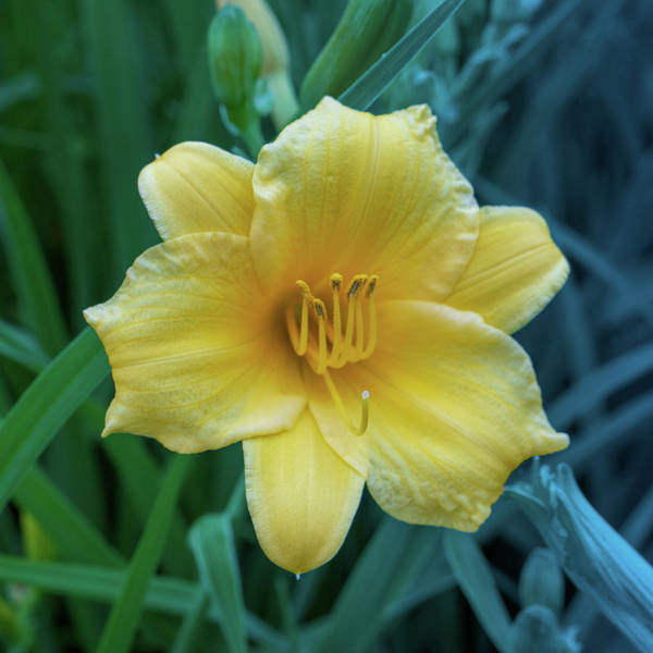Digital Art - Yellow Day Lily On Green Blue Background by Jason Fink