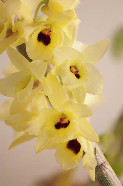 Rockville Photograph - Yellow Dendrobium Nobile In Full Bloom by Maria Mosolova