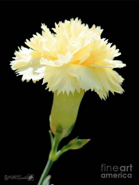 Wall Art - Photograph - Yellow Dianthus From The Bananaberry Fizz Mix by J McCombie
