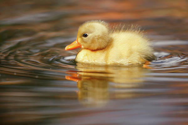 Wall Art - Photograph - Yellow Duckling by Roeselien Raimond