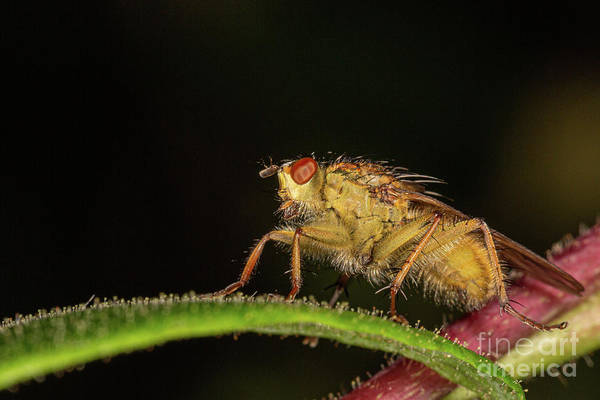 Photograph - yellow Dung Fly by Brian Roscorla