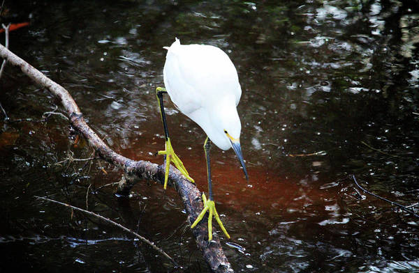 Photograph - Yellow Feet by Cynthia Guinn