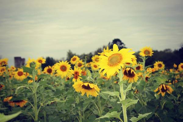 Photograph - Yellow Fields by Candice Trimble