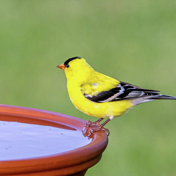 Photograph - Yellow Finch #2 by David Heilman
