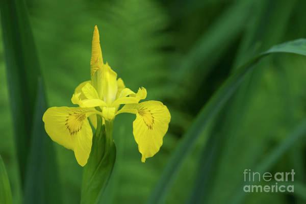 Photograph - Yellow Flag Iris by Tim Gainey