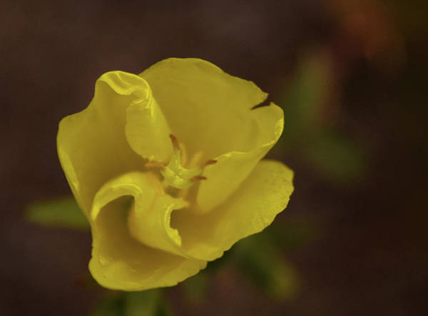 Photograph - Yellow Flower Close Up by Chance Kafka