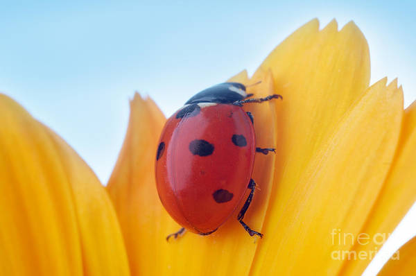 Zoology Wall Art - Photograph - Yellow Flower Petal With Ladybug Under by Anatoly Tiplyashin
